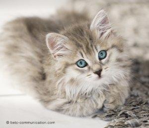 photo chat yeux bleus